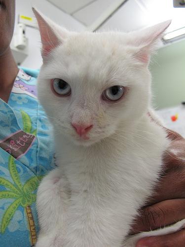 Snow Coney the Coney Island Cat
