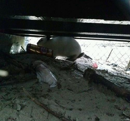 Coney Island Bunny